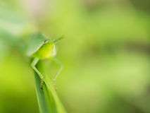 Grasshopper που σκαρφαλώνει σε ένα φύλλο χλόης Στοκ φωτογραφία με δικαίωμα ελεύθερης χρήσης