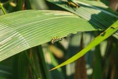 Grasshopper που σκαρφαλώνει σε ένα φύλλο Στοκ Εικόνες