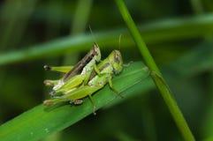 Grasshopper που σκαρφαλώνει στο πράσινο φύλλο Στοκ Εικόνες