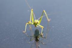 Grasshopper που τρώει επάνω από ένα μέταλλο surfac στοκ εικόνες