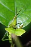 Grasshopper που τρώει σε ένα πράσινο φύλλο Στοκ εικόνα με δικαίωμα ελεύθερης χρήσης