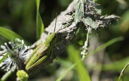 grasshopper πράσινο φύλλο στοκ φωτογραφία με δικαίωμα ελεύθερης χρήσης