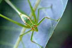 grasshopper πράσινο στοκ εικόνες με δικαίωμα ελεύθερης χρήσης