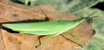 grasshopper πράσινο στοκ φωτογραφία με δικαίωμα ελεύθερης χρήσης