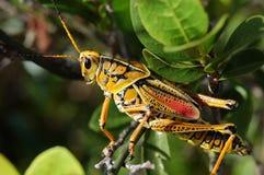grasshopper πρωτάρης Στοκ Εικόνες