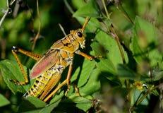 Grasshopper πρωταρών στο prowl Στοκ φωτογραφία με δικαίωμα ελεύθερης χρήσης