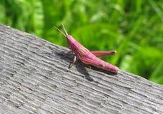 grasshopper ροζ Στοκ Εικόνες