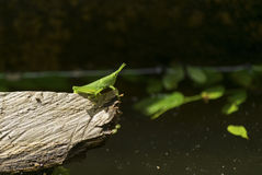 Grasshopper σε έναν κλάδο Στοκ Εικόνες