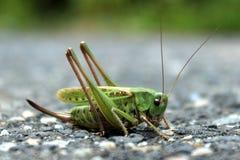 Grasshopper σε ένα γκρίζο και πράσινο υπόβαθρο Στοκ φωτογραφίες με δικαίωμα ελεύθερης χρήσης