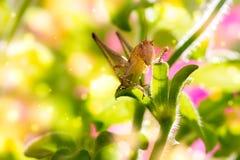 Grasshopper σε ένα λουλούδι Στοκ Εικόνες