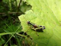 Grasshopper σε ένα πράσινο υπόβαθρο Στοκ εικόνες με δικαίωμα ελεύθερης χρήσης