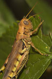 Grasshopper σε ένα φύλλο Στοκ φωτογραφίες με δικαίωμα ελεύθερης χρήσης