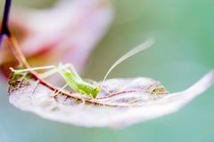 Grasshopper σε ένα φύλλο Στοκ φωτογραφία με δικαίωμα ελεύθερης χρήσης