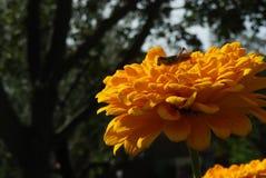 Grasshopper σε ένα χρυσό υπόβαθρο πτώσης πετάλων λουλουδιών Στοκ Εικόνα
