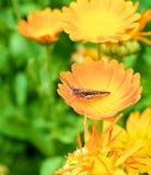 Grasshopper σε ένα calendula λουλουδιών Στοκ εικόνες με δικαίωμα ελεύθερης χρήσης
