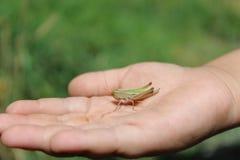 Grasshopper σε ετοιμότητα Στοκ Εικόνες