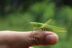 Grasshopper σε ετοιμότητα Στοκ εικόνα με δικαίωμα ελεύθερης χρήσης