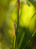Grasshopper σε μια λεπίδα της χλόης την άνοιξη Στοκ Εικόνες