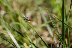 Grasshopper σε μια λεπίδα χλόης στο πράσινο κλίμα Στοκ Φωτογραφίες