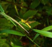 Grasshopper σε μια χλόη Στοκ φωτογραφίες με δικαίωμα ελεύθερης χρήσης