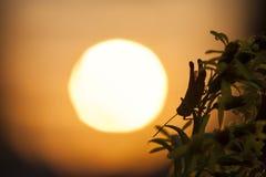Grasshopper σκιαγραφία στον ήλιο Στοκ Φωτογραφία