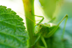 Grasshopper στα κίτρινα λουλούδια Στοκ Εικόνα