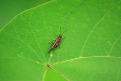 Grasshopper στα μεγάλα πράσινα φύλλα Στοκ Εικόνα
