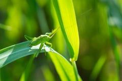 Grasshopper στενό σε επάνω χλόης Στοκ φωτογραφία με δικαίωμα ελεύθερης χρήσης
