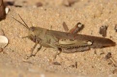 Grasshopper στην άμμο Στοκ Φωτογραφία