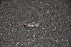 Grasshopper στην άσφαλτο. Στοκ Εικόνες