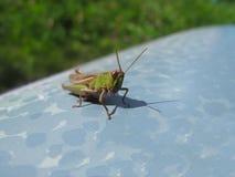 Grasshopper στην γκρίζα επιφάνεια Στοκ Εικόνες