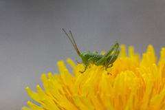 Grasshopper στην κινηματογράφηση σε πρώτο πλάνο πικραλίδων στοκ φωτογραφία με δικαίωμα ελεύθερης χρήσης
