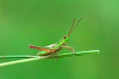 Grasshopper στην πράσινη λεπίδα της χλόης σε ένα θολωμένο υπόβαθρο Στοκ Εικόνες