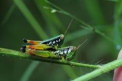 Grasshopper στην Ταϊλάνδη Στοκ εικόνα με δικαίωμα ελεύθερης χρήσης