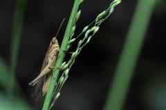 Grasshopper στην Ταϊλάνδη Στοκ φωτογραφία με δικαίωμα ελεύθερης χρήσης