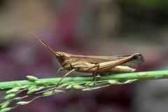 Grasshopper στην Ταϊλάνδη Στοκ Εικόνα
