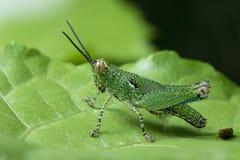 Grasshopper στην Ταϊλάνδη Στοκ Εικόνες