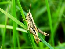 Grasshopper στη λεπίδα χλόης Στοκ εικόνες με δικαίωμα ελεύθερης χρήσης