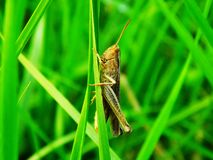 Grasshopper στη λεπίδα χλόης Στοκ φωτογραφία με δικαίωμα ελεύθερης χρήσης