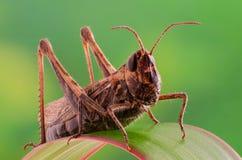 Grasshopper στη μακροεντολή χλόης Στοκ φωτογραφία με δικαίωμα ελεύθερης χρήσης