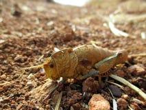 Grasshopper στη μακροεντολή Στοκ Φωτογραφία
