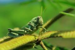 Grasshopper στη φύση Στοκ Εικόνες