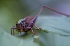 Grasshopper στη χλόη Στοκ φωτογραφία με δικαίωμα ελεύθερης χρήσης
