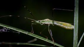 Grasshopper στον κλάδο χλόης Στοκ Εικόνα