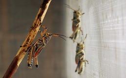 Grasshopper στον κλάδο Στοκ φωτογραφία με δικαίωμα ελεύθερης χρήσης