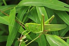 Grasshopper στο δάσος Στοκ Εικόνα