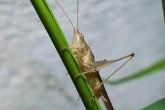 Grasshopper στο δέντρο Στοκ Φωτογραφίες