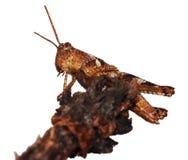 Grasshopper στο λευκό Στοκ Εικόνα