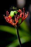 Grasshopper στο λουλούδι Στοκ Φωτογραφίες