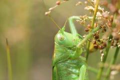 Grasshopper στο μίσχο της χλόης Στοκ φωτογραφία με δικαίωμα ελεύθερης χρήσης